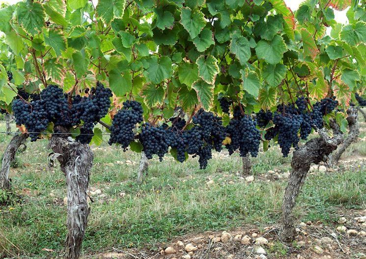 Budidaya Anggur
