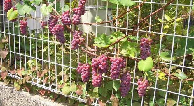 Panduan Menanam & Merawat Pohon Anggur Hingga Berbuah Lebat