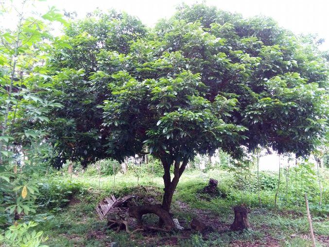 Pohon lengkeng tak kunjung berbuah