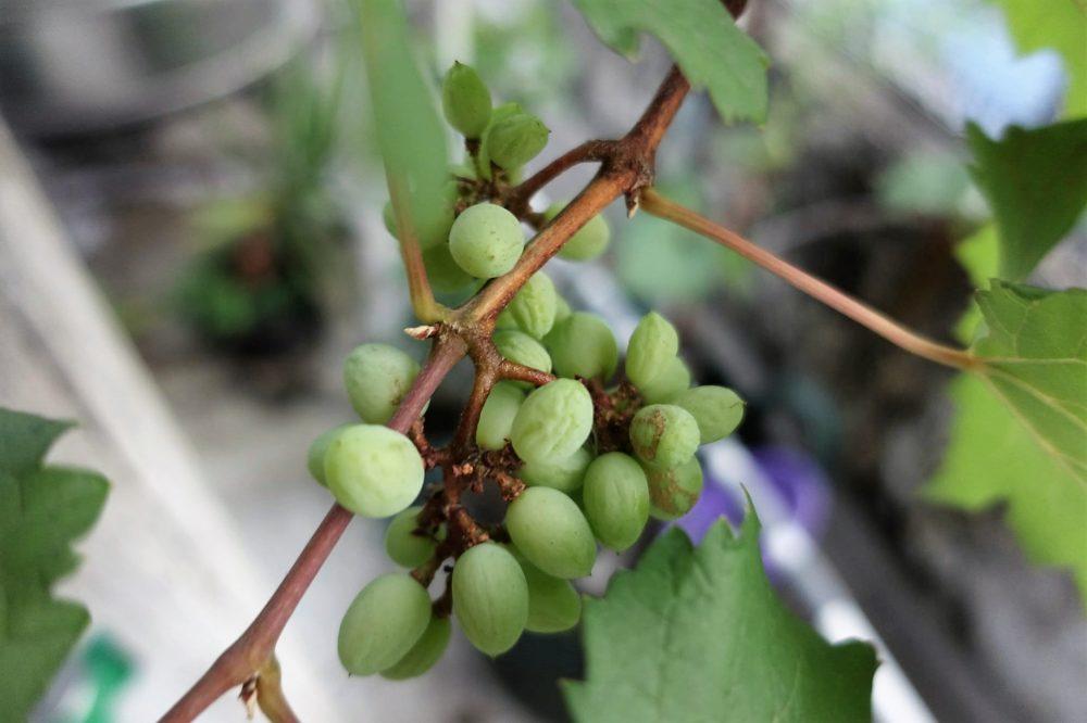 Penyebab buah anggur keriput