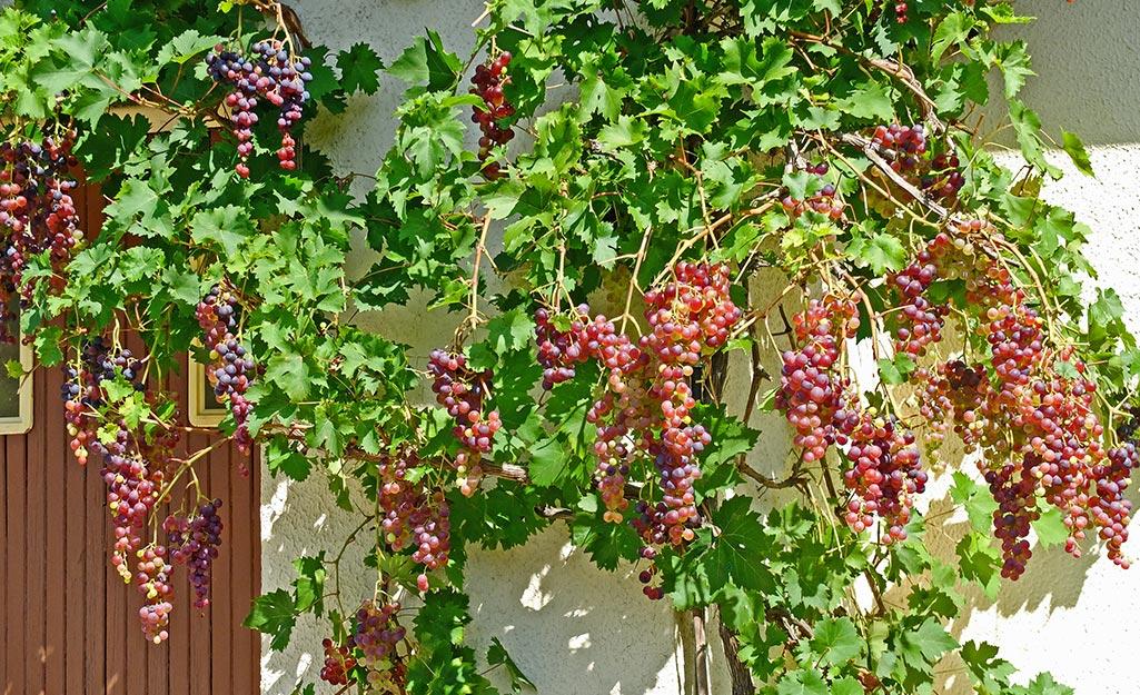 Pembuahan Tabulampot Anggur